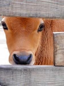 cow-13933386558p88b