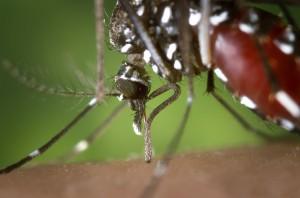 Aedes_albopictus_2
