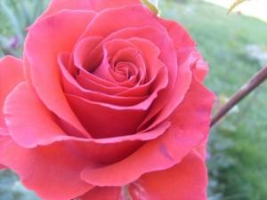 rose-1401843891k34v3