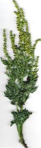 Ambrosia_artemisiifolia