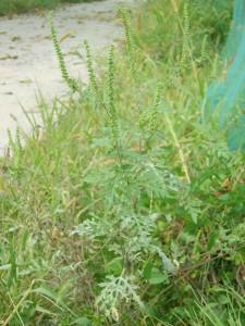Ambrosia_artemisiifolia_2