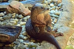 Otter - 1410212927szcru