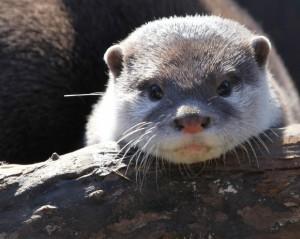 Otter 2 - 136354539291s44