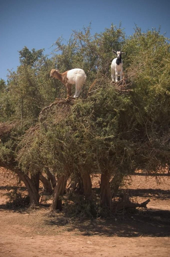 Goats_on_a_tree,_capre_sull'_albero