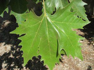 Platanus_x_acerifolia_leaf_01_by_Line1