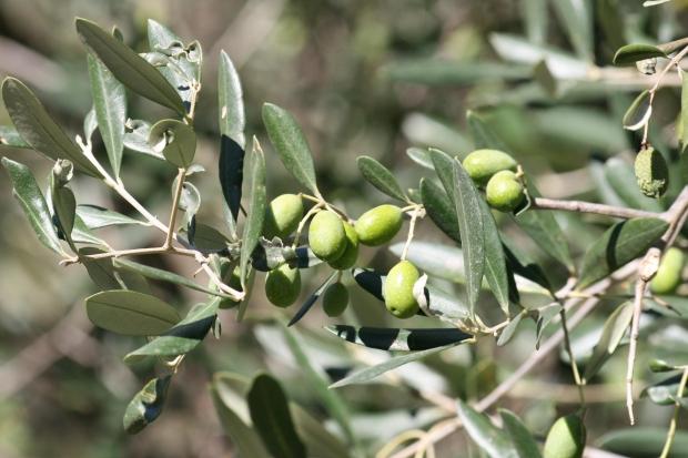 olive-1402175806rwud4
