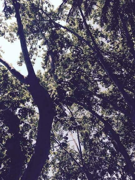 platano de sombra